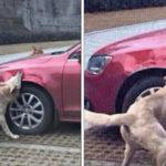 Man die hond schopte, ziet hoe zijn auto wordt vernield wanneer hond terugkeert met vrienden