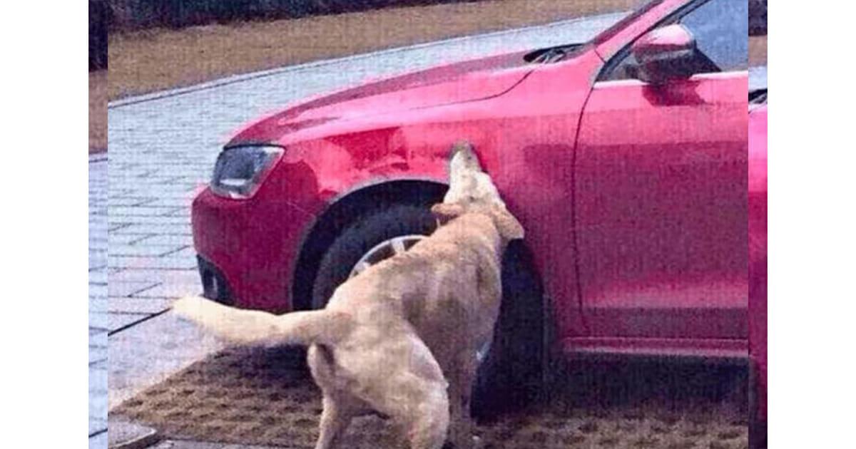 hond neemt wraak op bestuurder