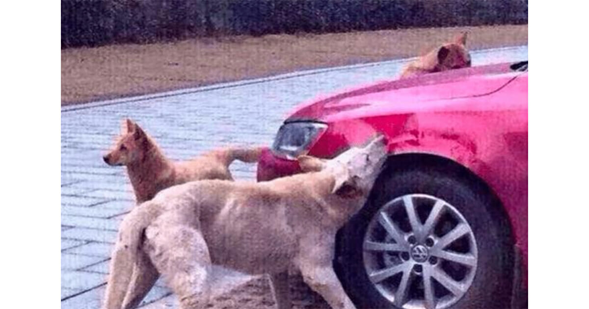 hond vernielt auto