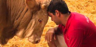Depressieve stier zit hele leven gevangen - beelden van zijn vrijlating zijn prachtig om te zien