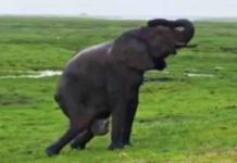 Olifant bevalt midden in safari - toeristen verbijsterd door instincten van de kudde