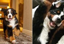 Dit hotel in Aspen heeft een eigen Berner Sennenhond die je 's nachts in bed stopt