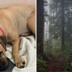 Loyale puppy loopt 160 km door bos met beren, op zoek naar eigenaren die haar afwijzen