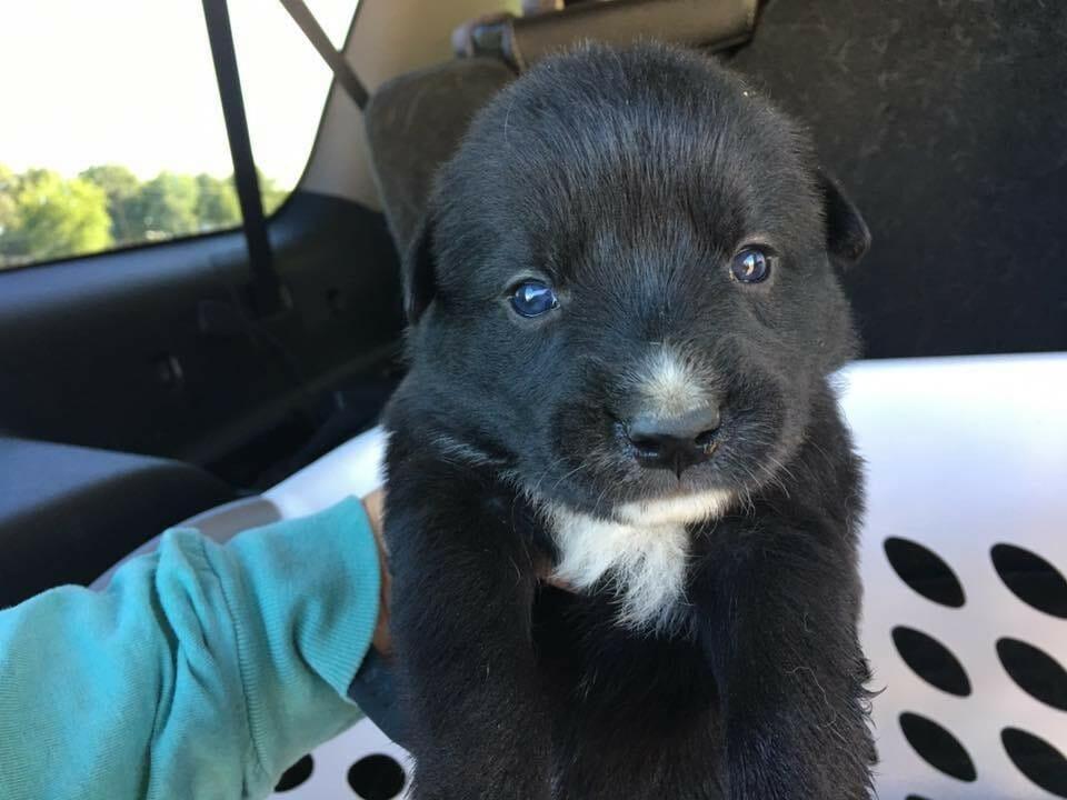 zwarte puppy
