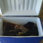 Vrouw stopt voor koelbox langs de weg en vindt 9 achtergelaten puppy's