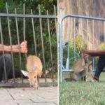 Hardloper buigt metalen hek om gevangen hert te bevrijden
