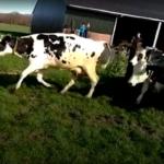 VIDEO: De lente is begonnen, koeien voor het eerst naar buiten